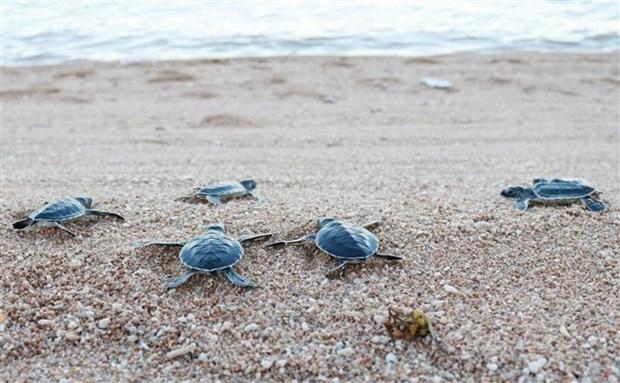 Rescatan y liberan mas de 800 tortugas raras en provincia vietnamita hinh anh 1