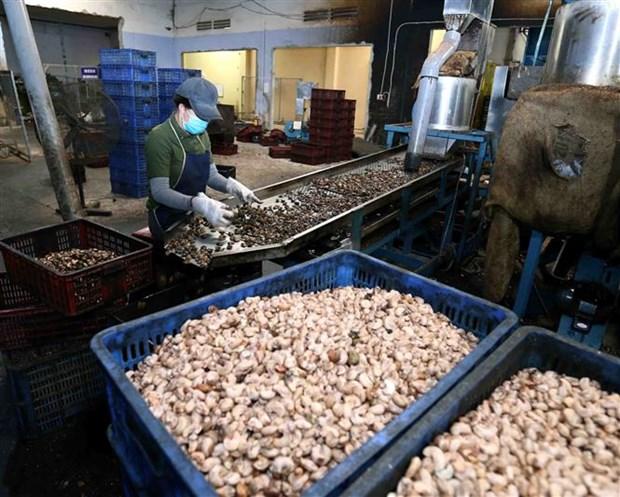 Vietnam consolida papel de principal exportador de anacardos del mundo hinh anh 1