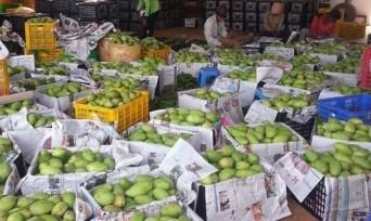 Camboya exporta primer lote de mango fresco a China hinh anh 1