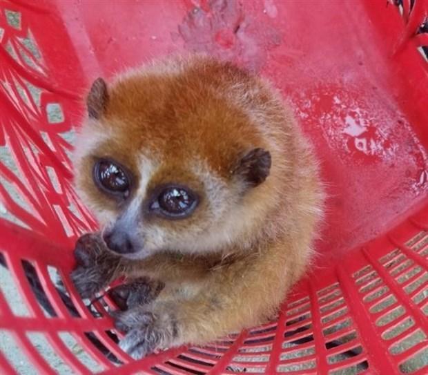 Descubren ejemplares de loris en provincia vietnamita hinh anh 2