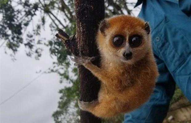 Descubren ejemplares de loris en provincia vietnamita hinh anh 1
