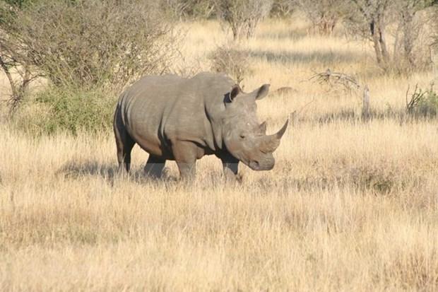 Nuevo llamado a poner fin al uso del cuerno de rinoceronte en Vietnam hinh anh 1