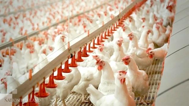 Exportacion de pollo de Tailandia se ve afectada por COVID-19 hinh anh 1