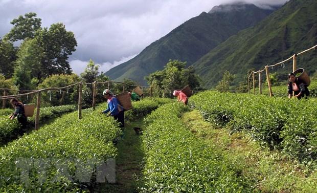 Aumenta valor de exportaciones de te vietnamita en enero hinh anh 1