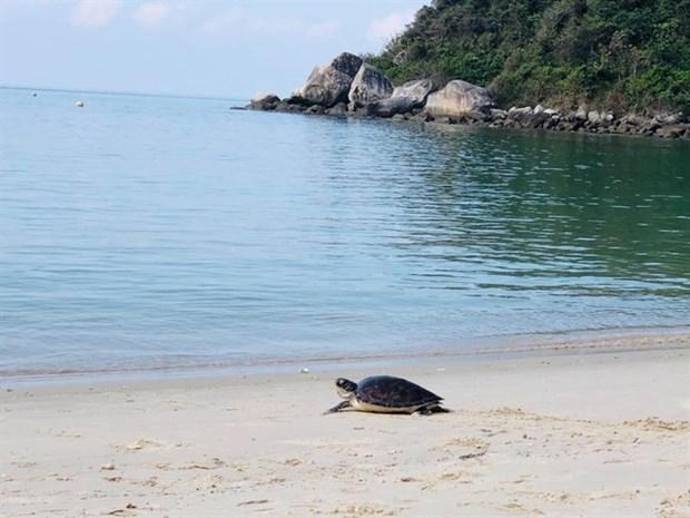 Liberan al mar a tortuga marina en Vietnam hinh anh 1