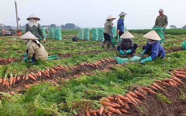 Enviaran primer lote de zanahorias de provincia vietnamita a Corea del Sur hinh anh 1
