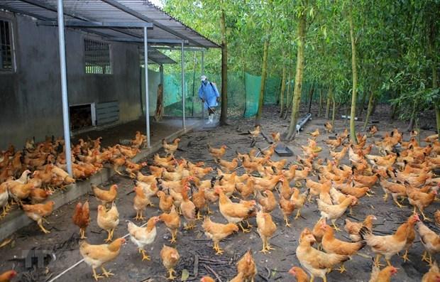 OMS advierte sobre la posibilidad de transmision de cepa H5N8 de gripe aviar al ser humano hinh anh 1