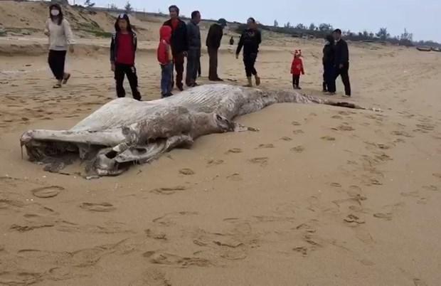 Descubren en provincia vietnamita restos de una ballena hinh anh 1