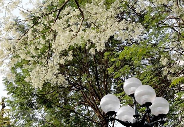 Flores Sua embellecen calles de Hanoi hinh anh 1