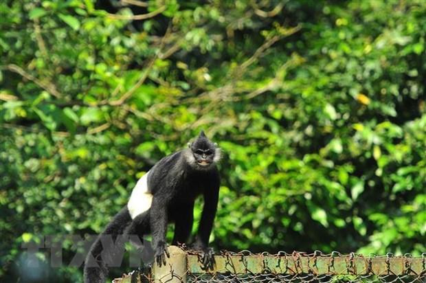 Vietnam despliega actividades para proteger al langur hinh anh 1