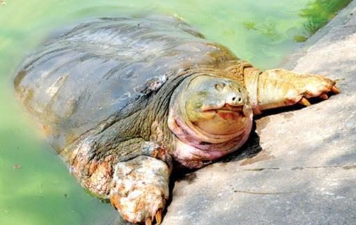 Financia grupo vietnamita Danko Group conservacion de tortuga de Lago Hoan Kiem hinh anh 1