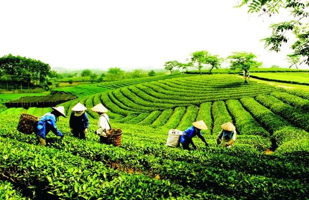 Exportaciones de te vietnamita aumentaron en primer bimestre del ano hinh anh 1