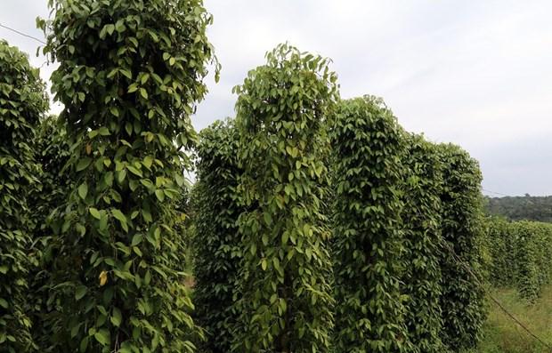 Camboya promovera exportaciones de pimienta en 2021 hinh anh 1