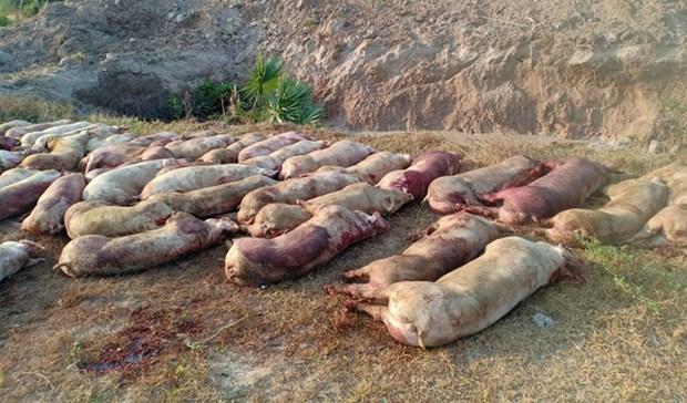 Camboya sacrifica mas de un centenar de cerdos vivos con peste porcina africana hinh anh 1