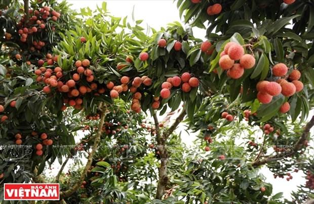 Distrito en provincia vietnamita de Bac Giang fortalece el cultivo de arboles frutales hinh anh 1