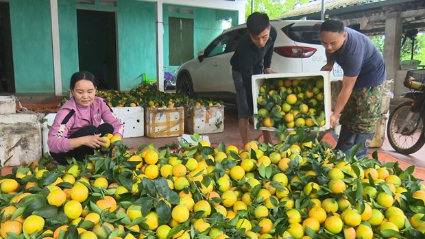 Distrito en provincia vietnamita de Bac Giang fortalece el cultivo de arboles frutales hinh anh 2