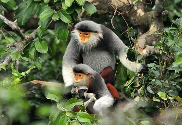 Liberan un douc, especie endemica amenaza en la naturaleza de Vietnam hinh anh 1