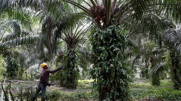 Obtendra Malasia 72 millones de dolares por impuestos de aceite del palma hinh anh 1