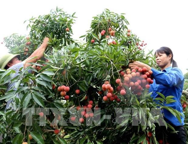 Incrementan apoyo al consumo de lichi y otros productos agricolas de Vietnam hinh anh 1