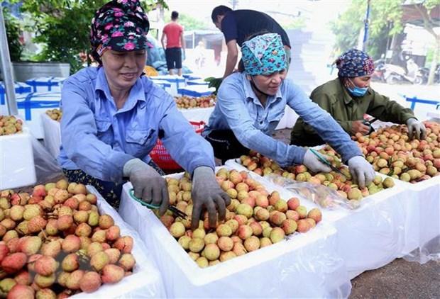 Ponen a la venta lichi Thanh Ha de Vietnam en plataforma de e-comercio hinh anh 1