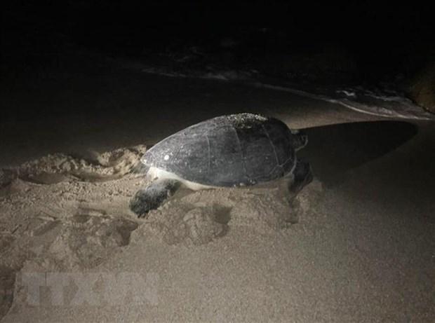 Liberan al mar tortuga rara en Vietnam hinh anh 1