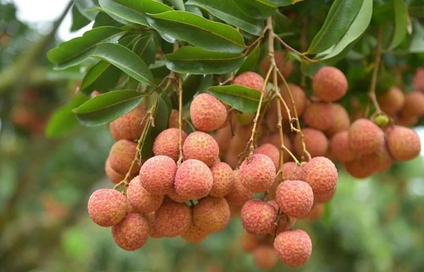 Exporta provincia vietnamita de Bac Giang 200 toneladas de lichi hinh anh 1