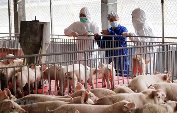 Vietnam suspendera importacion de cerdos vivos de Tailandia hinh anh 1