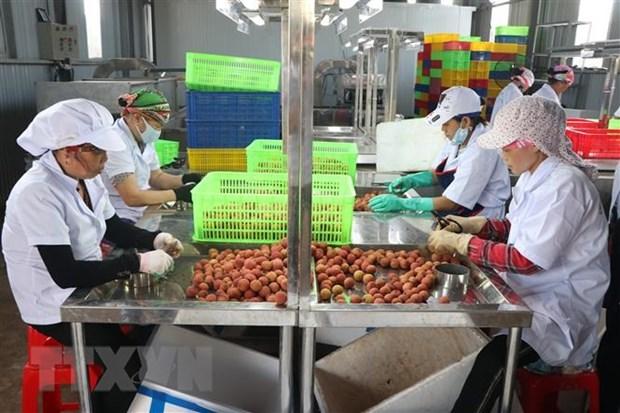Logran otras instalaciones de Hai Duong permiso de procesar lichis para exportar a Japon hinh anh 1