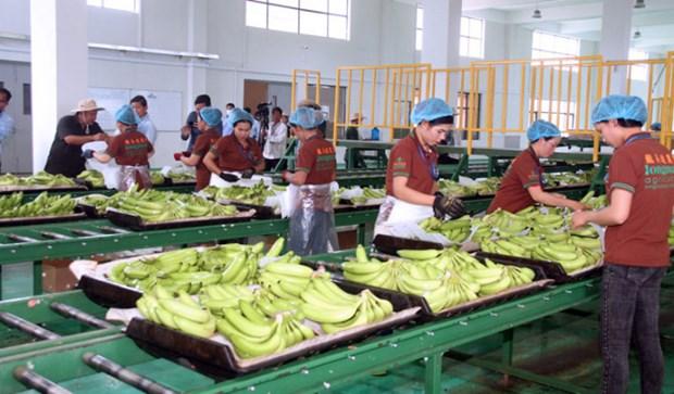 Camboya exporta mas de 200 mil toneladas de bananas hinh anh 1
