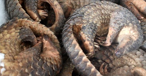 Condenan a vietnamita por tenencia de 780 kilogramos de escamas de pangolin africano hinh anh 1