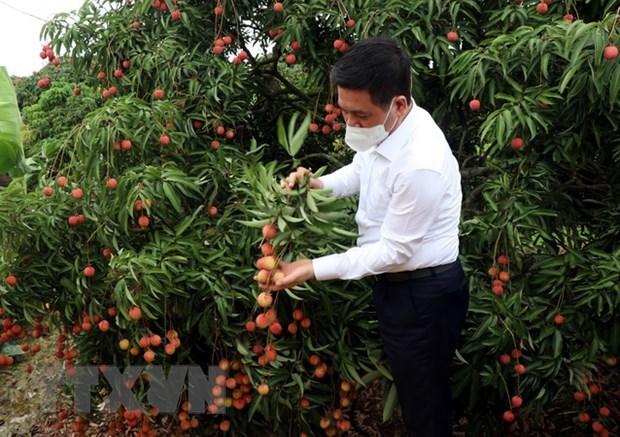 Venderan lichi vietnamita de Bac Giang en plataformas de e-comercio hinh anh 1