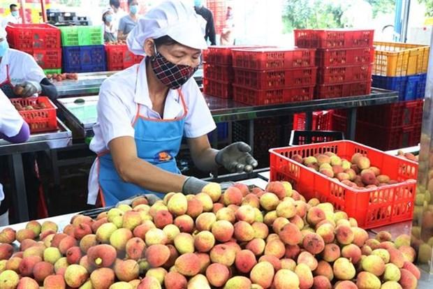 Provincia vietnamita de Hai Duong exporta por primera vez lichi a Tailandia hinh anh 1