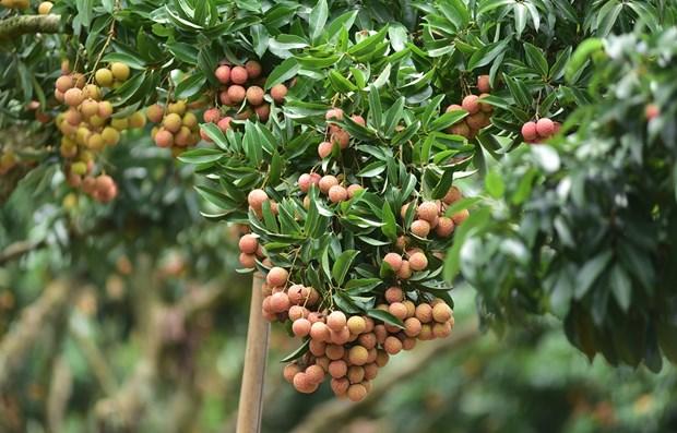 Repuntan exportaciones de productos agricolas de Vietnam a China hinh anh 1