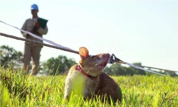 Camboya entrena nuevas ratas para labores de desminado hinh anh 1