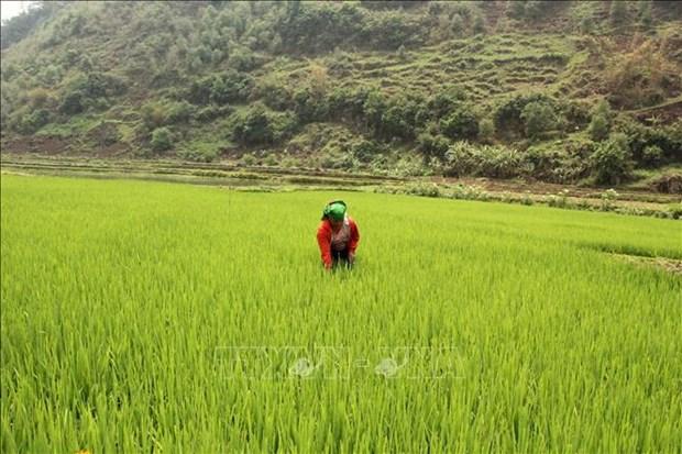 Provincia vietnamita busca desarrollar marca de su arroz glutinoso hinh anh 1