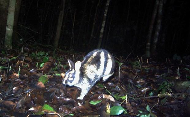 Hallan por primera vez en Vietnam conejo en riesgo de extincion a nivel global hinh anh 1