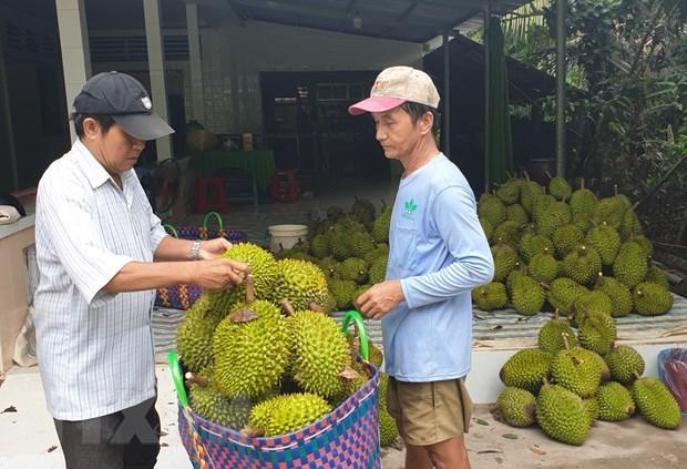 Durian vietnamita gana popularidad en Australia hinh anh 1