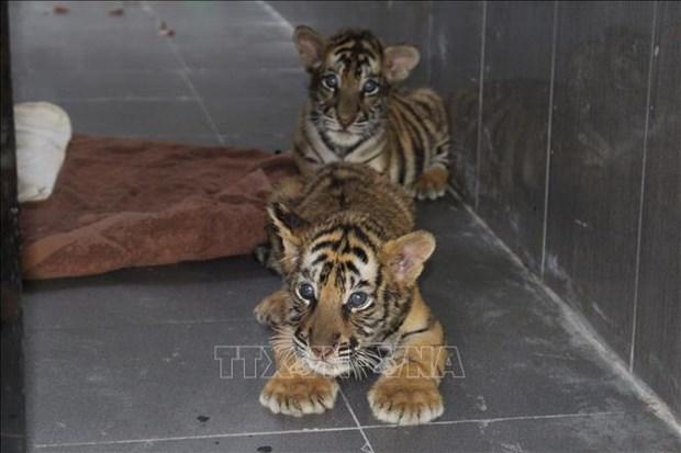 Destacan esfuerzos de Nghe An en lucha contra cria y comercio ilegal de tigre hinh anh 1