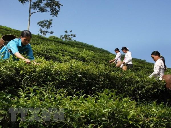 Aumentan exportaciones de te de Vietnam a Australia hinh anh 1