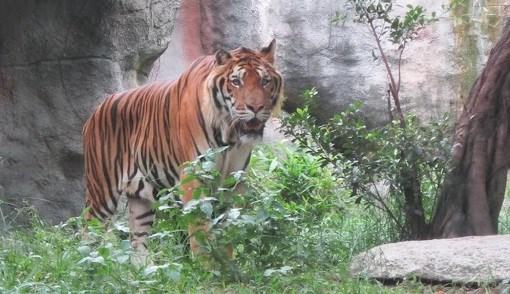 Debaten soluciones para conservacion del tigre en Vietnam hinh anh 1