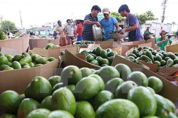 Vietnam busca elevar valor agregado de aguacate para exportacion hinh anh 1