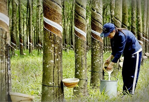 En alza valor de exportaciones de caucho de Vietnam en primera mitad de 2021 hinh anh 1