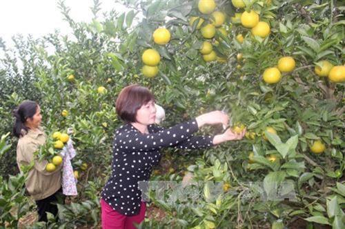 Apunta distrito vietnamita de Luc Ngan a aumentar las exportaciones de citricos hinh anh 1