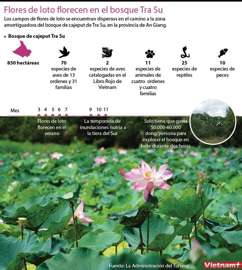 Flores de loto florecen en el bosque Tra Su hinh anh 1
